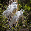 Great Egret resting after nest building<br /> Beaufort County, SC