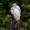 """Twins""<br /> Juvenile Great Egrets<br /> Cypress Wetlands<br /> Port Royal, SC"