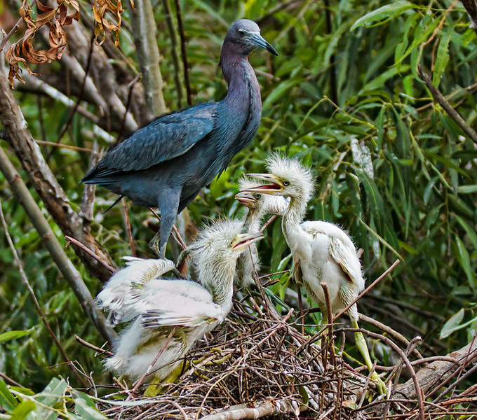 Little Blue Heron and her Chicks #1<br /> Pinckney Island National Wildlife Refuge<br /> Hilton Head Island, SC