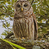 Barred Owl<br /> Devil's Garden Ranch<br /> Hendry County, FL