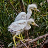 """We See Something""<br /> Little Blue Heron Chicks<br /> Pinckney Island National Wildlife Refuge<br /> Hilton Head Island, SC"