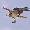 """Talons #2""<br /> Osprey<br /> Charleston Harbor<br /> Charleston, SC"