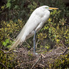 Great Egret guarding her eggs<br /> Beaufort County, SC
