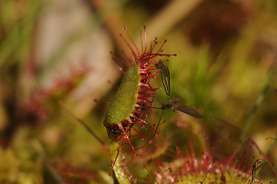 common sundew, Drosera rotundifolia. Ilperveld, The Netherlands.