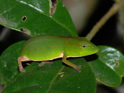 Malagasy Side-striped Chameleon, Calumma gastrotaenia  Andasibe