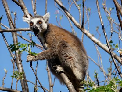 Ringtailed Lemur, Lemur catta  Isalo