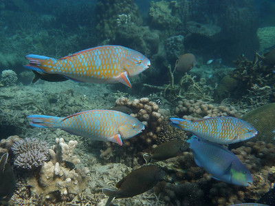 Bluebarred Parrotfish, Scarus ghobban  Nosy Tanikely