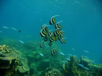 Longfin Bannerfish , Heniochus acuminatus  Nosy Tanikely