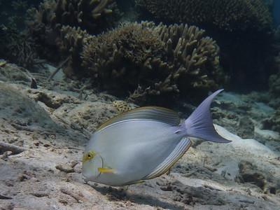 Yellowfin Surgeonfish, Acanthurus xanthopterus  Nosy Tanikely