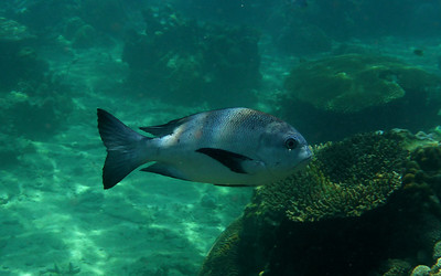 Black and white Snapper, Macolor niger   Nosy Tanikely