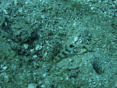 Steinitz Schrimpgoby Amblyeleotris steinitzi,  Nosy Be