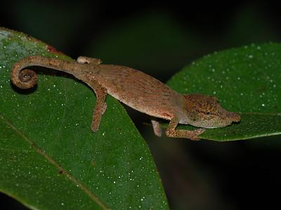 Bignose Chameleon, Calumma nasutum  Andasibe