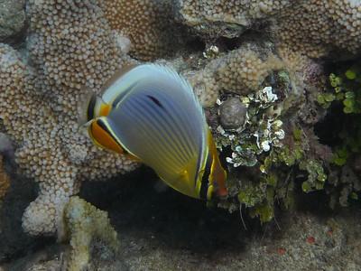 Rib Butterflyfish, Chaetodon trifasciatus  Nosy Tanikely