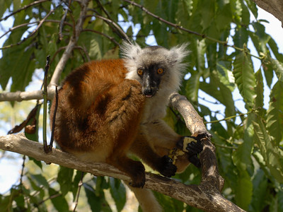 Female Black Lemur, Eulemur macaco  Nosy Comba