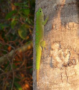 Giant Madagascar Day Gecko, Phelsumamad agascariensis  Tsingy