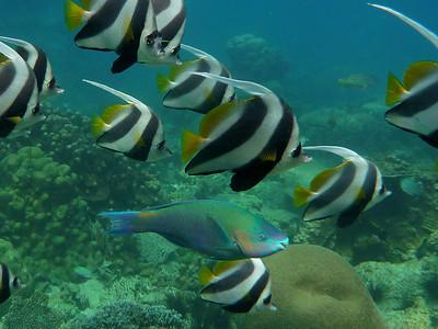 Bullethead Parrotfish, Scarus sordidus  Nosy Tanikely