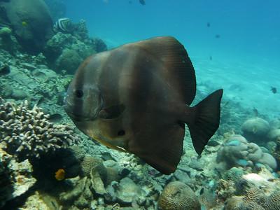 Longfin Spadefish, Platax teira  Nosy Tanikely