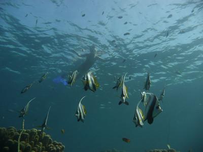 Longfin Bannerfish, Heniochus acuminatus  Nosy Tanikely