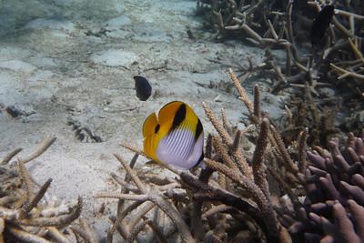 Saddleback Butterflyfish, Chaetodon falcula  Nosy Tanikely