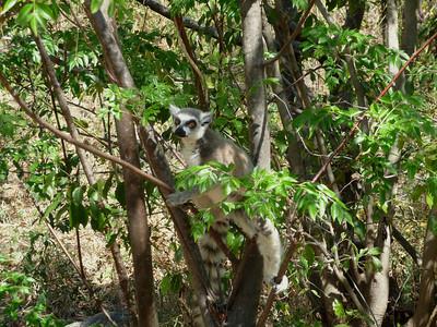 Ringtailed Lemur, Lemur catta
