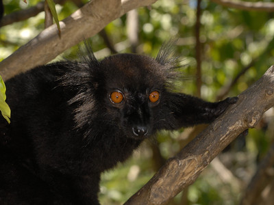 Black Lemur, Eulemur macaco  Nosy Comba