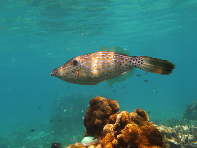 Scribled Filefish, Aluterus scriptus  Nosy Tanikely