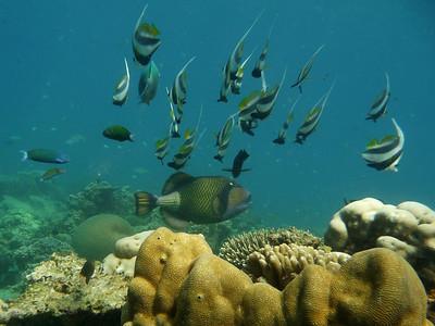 Giant Triggerfish, Balistoides viridescens  Nosy Tanikely
