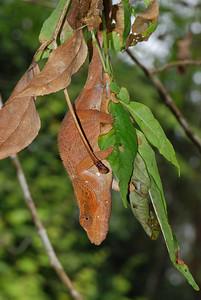 Chameleon, Calumma malthe?  Andasibe