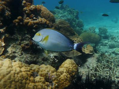 Yellowfin Surgeonfish, Acanthurusxan thopterus  Nosy Tanikely