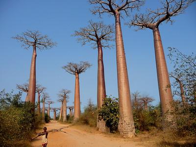 Baobab Alley,  Alle de Baobab