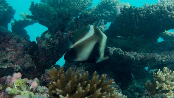 Phantom Bannerfish, Heniochus pleurotaenia