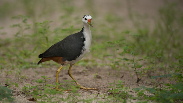 White-breasted Waterhen, Amaurornis phoenicurus