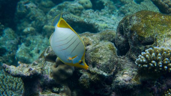 Yellowhead Butterflyfish, Chaetodon xanthocephalus