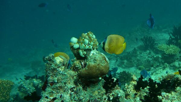 Klein's Butterflyfish, Chaetodon kleini