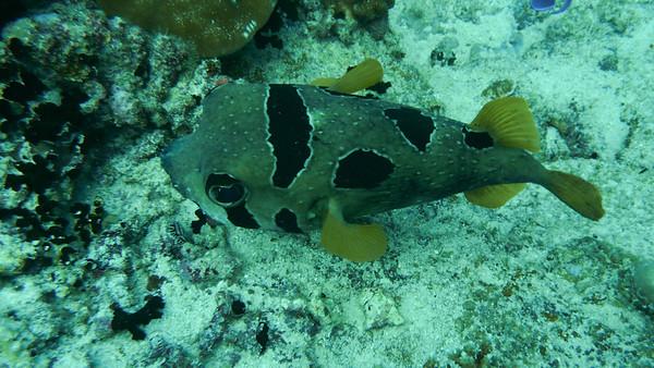 Masked Porcupinefish, Diodon liturosus