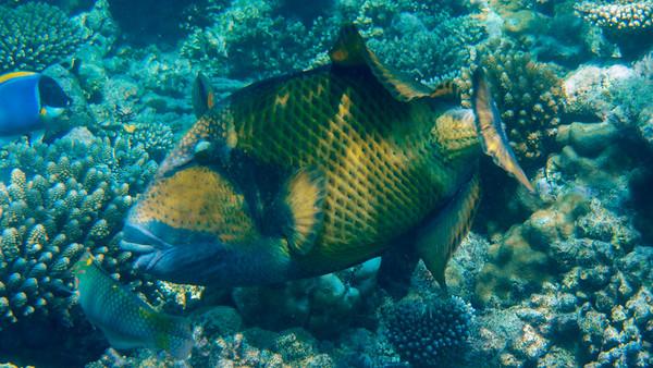 Giant Triggerfish, Balistoides viridescens