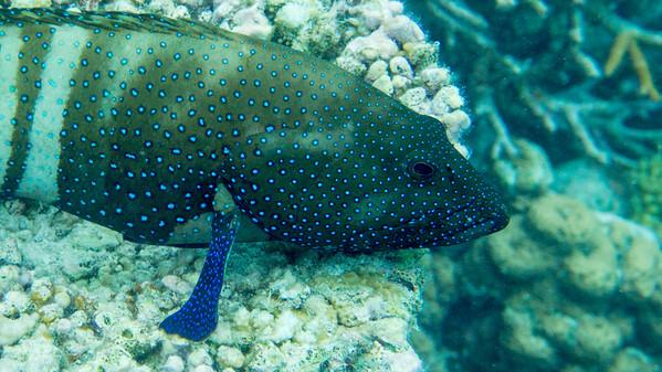 Peacock grouper, Cephalopholis argus