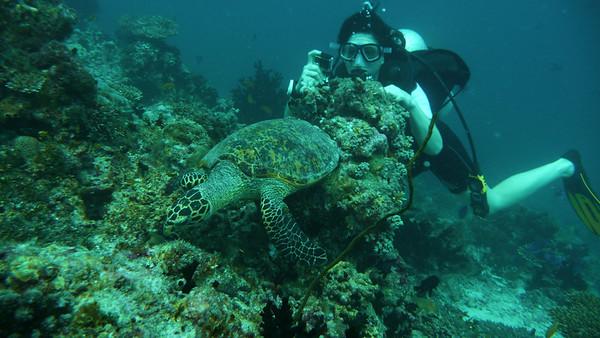 Hawksbill turtle, Eretmochelys imbricata