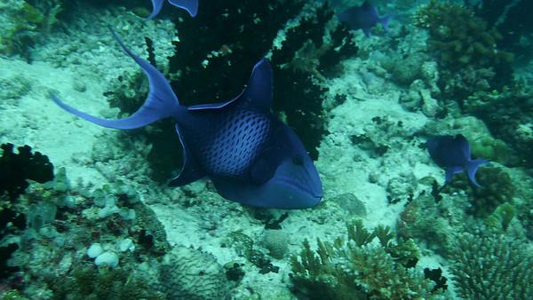 Redtooth Triggerfish, Odonus niger