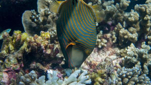 Yellow-tail Triggerfish, Balistapus undulatus