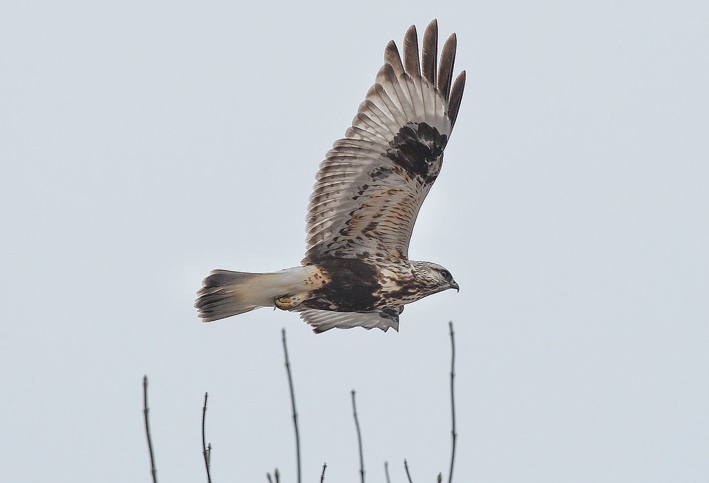 Justin Sheely | The Sheridan Press<br /> A juvenile rough-legged hawk flies between trees during the Bighorn Audubon Society's monthly Birding at the Brinton event in Big Horn Saturday, March 17, 2017. The Sheridan area sees migratory birds in March, notably, the sandhill crane.