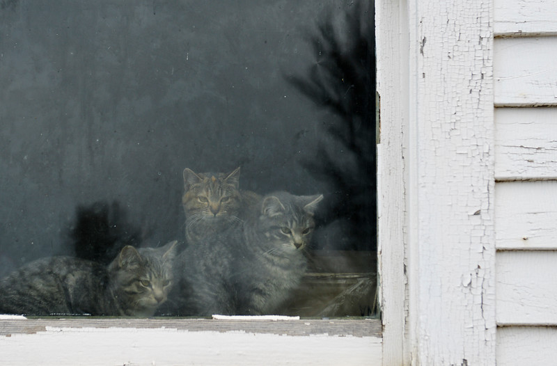 Justin Sheely | The Sheridan Press<br /> Barn cats look out of a an old school house at a ranch near Sheridan Thursday, March 15, 2018.