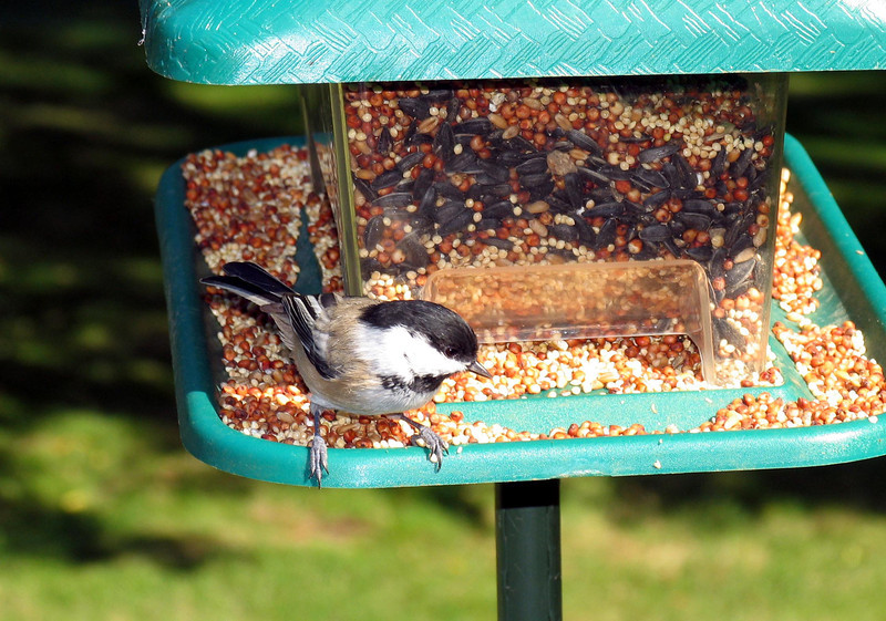 Black-Capped Chickadee - October 2005