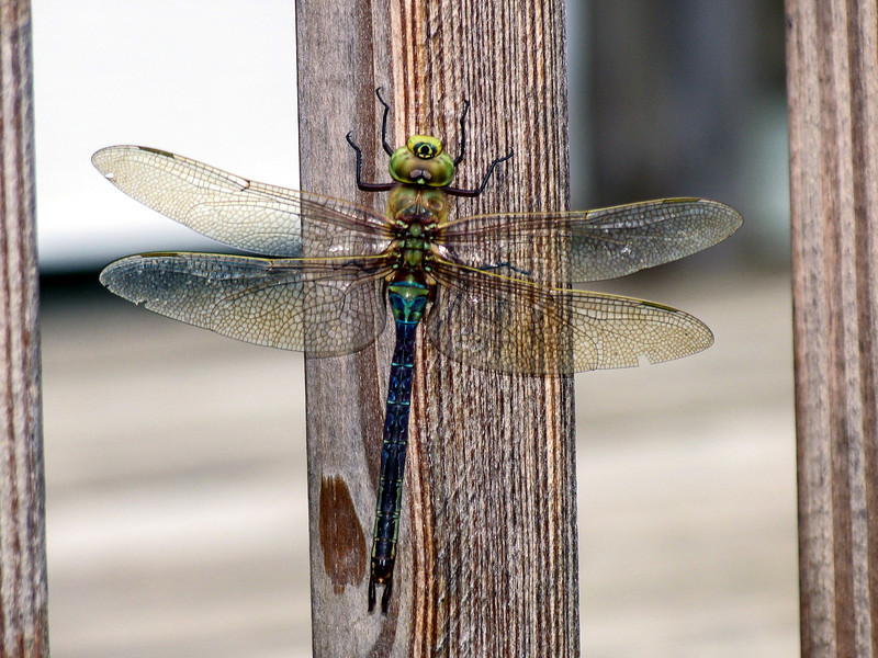 Dragonfly on front deck - July 2005