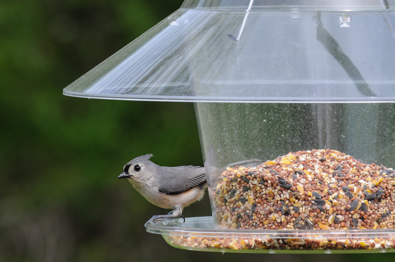Tufted Titmouse in back deck feeder - May 2008