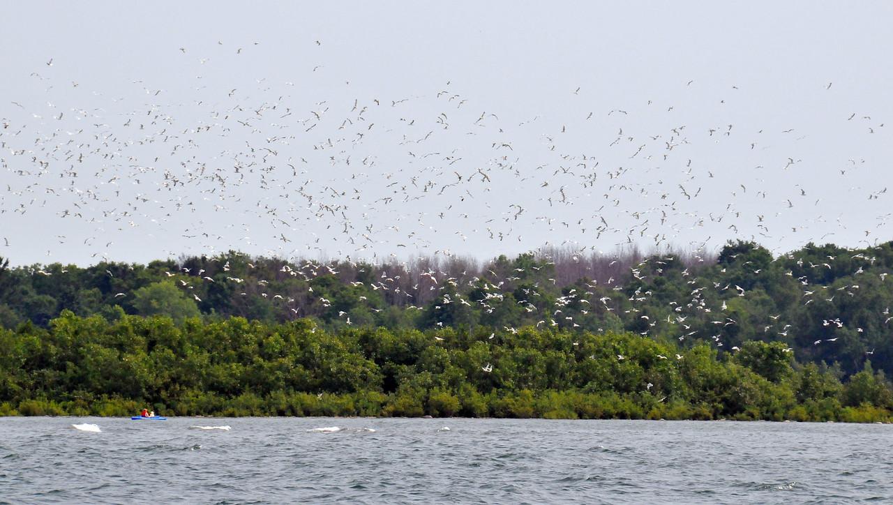 Kayakers disrupting the gulls on Gull Island - July 2011