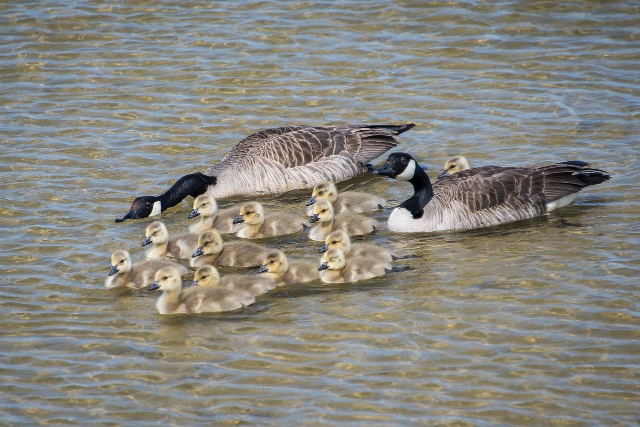 Goslings being herded, Port Austin - May 2013