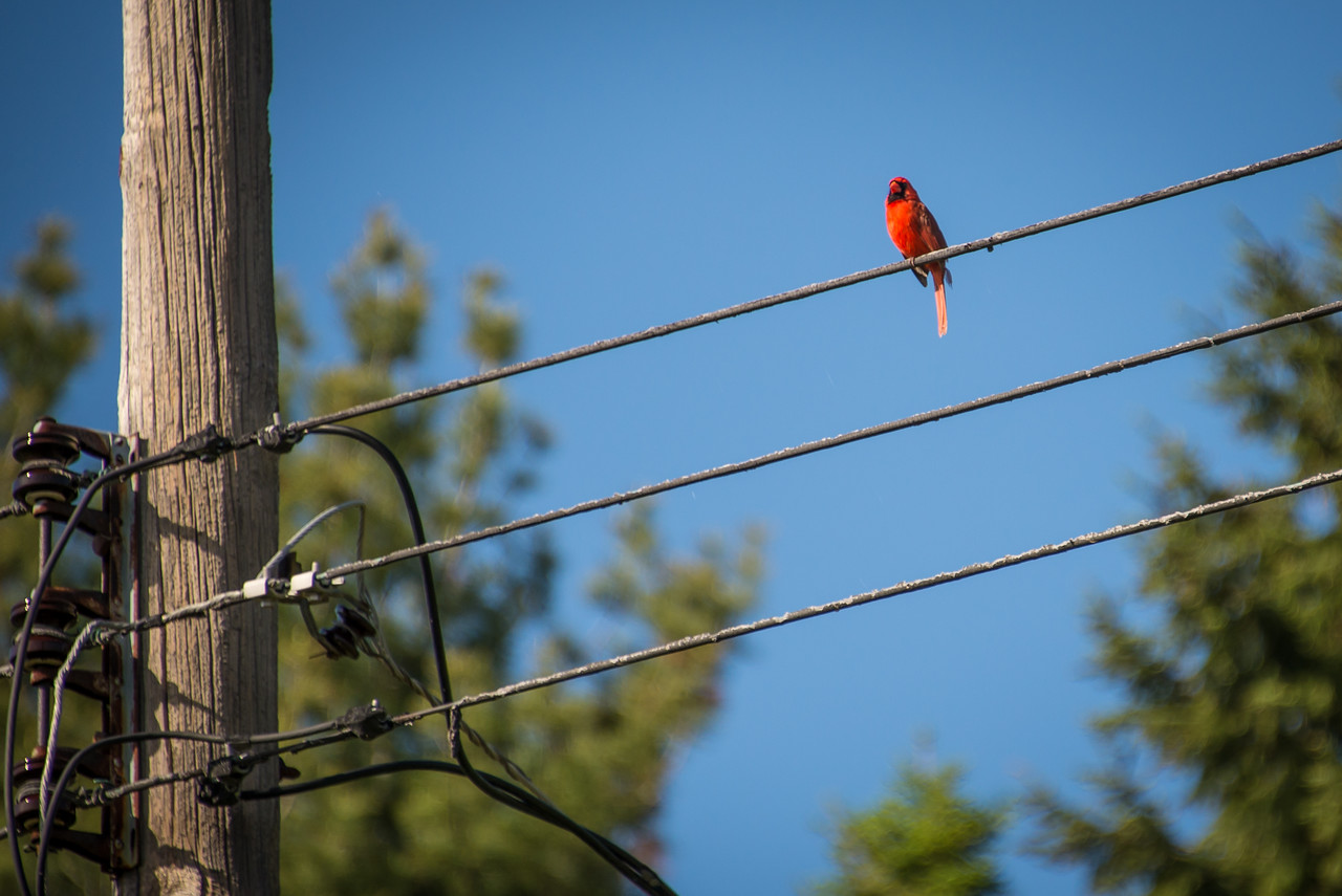 Male Cardinal perched on backyard power lines - May 2013