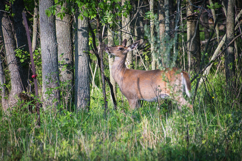 Deer stripping braches along Wallace Road near Eagle Bay, Michigan - May 2013