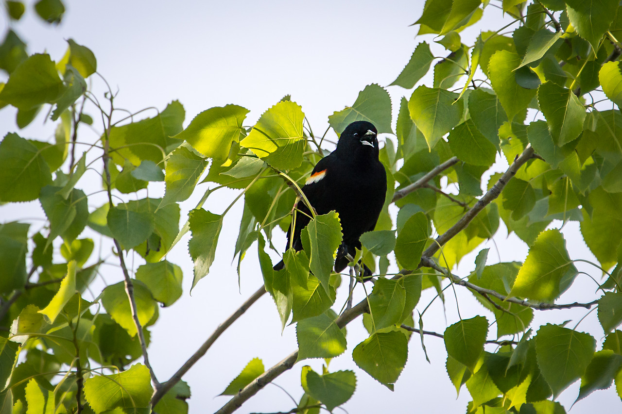 Red-winged Black Bird - May 2013